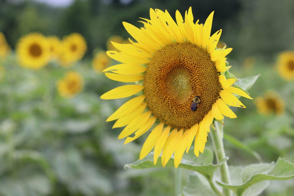 Sunflowers - And Hattie Makes Three 2