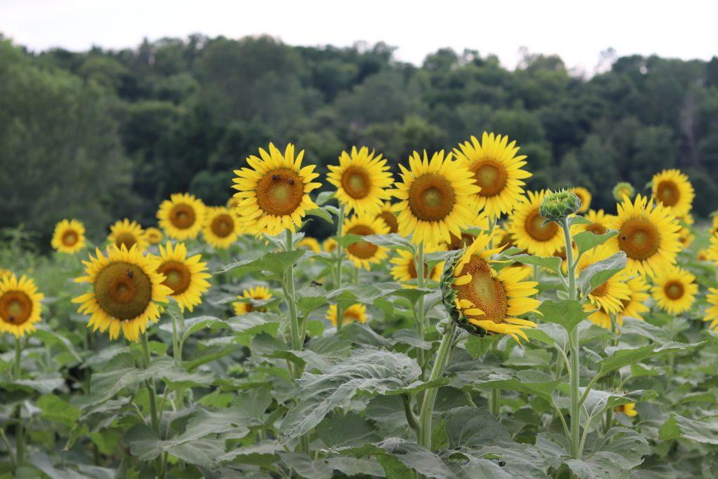 Sunflowers - And Hattie Makes Three